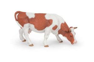 Grazing Simmental Cow